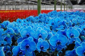 Blue Mystique Orchids at a nursery.